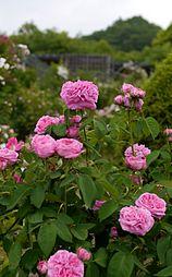 Rose, Yolande d'Aragon, バラ, ヨランド ダラゴン, (12907458783).jpg