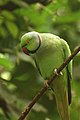 Rose-ringed Parakeet 5.jpg