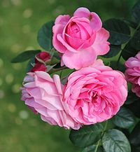 list of rose cultivars named after people wikipedia. Black Bedroom Furniture Sets. Home Design Ideas