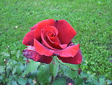 Rose in the garden of fortress koenigstein saxonia germany.jpg