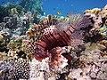 Rotfeuerfisch, lionfisch (рыба-зебра, рыба-лев). DSCF1369BE.jpg