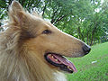 Rough Collie Zeus.jpg