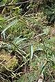 Rubus cissoides kz1.jpg