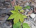 Rubus odoratus 2016-04-22 8659.jpg