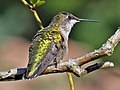 Ruby-throated Hummingbird (Archilochus colubris) RWD3.jpg