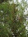 Rucavas īvju audze 2019 18.jpg