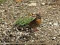 Rufous-breasted Accentor (Prunella strophiata) (19714867963).jpg