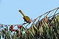 Rufous-capped Warbler (Basileuterus rufifrons) (7223107310).jpg