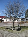 Ruhland, Dresdener Str. 40, Sitzecke mit Blumen-Esche, Frühling, 00.jpg