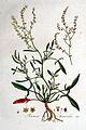 Rumex acetosella — Flora Batava — Volume v1.jpg