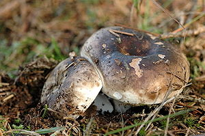 Russula.nigricans.-.lindsey.jpg