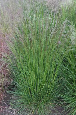 Ruwe smele (Deschampsia cespitosa}