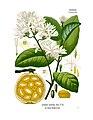 Saba comorensis - Köhler–s Medizinal-Pflanzen-085.jpg