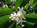 Saba senegalensis 0005.jpg