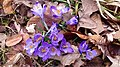 Saffron - Crocus vernus 17.jpg