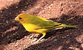 Saffron Finch 1 (3312569302).jpg