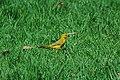 Saffron Finch 2015-06-02 (3) (26436408718).jpg