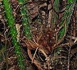 Buah salak yang masih muda di pohonnya