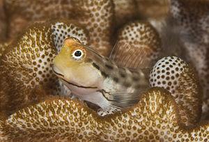 Blennioidei - Image: Salarias sinuosus (Fringelip blenny)