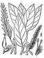 Salix-myricoides-myricoides.jpg