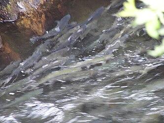 Salmon swimming upstream in Ketchikan Creek.jpg