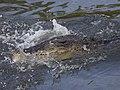 Saltie-eats-fish-LKY-1.jpg