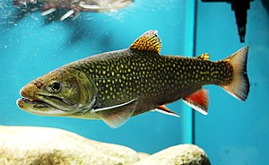 Brook trout - Captive brook trout in an aquarium