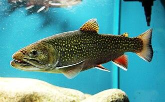 Brook trout - Captive brook trout in an aquarium
