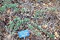 Salvia sonomensis - Regional Parks Botanic Garden, Berkeley, CA - DSC04309.JPG