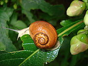Sinistral (left handed) species of snail from western India