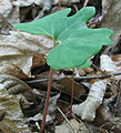 Sanguinaria canadensis - bloodroot - desc-orange stemmed leaf.jpg