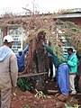 Saving a very valuable cycad prior to building extensions to the Library at the KZN Department of Agriculture 3.jpg