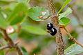 Scale Insects (Kermes ilicis) on Holm Oak (Kercus ilex) (19551723743).jpg