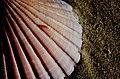 Scallop shell. (14868550211).jpg