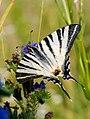 Scarce Swallowtail (37533765124).jpg