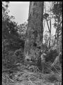 Scarfing a kauri tree preparatory to sawing, near Piha. ATLIB 136260.png