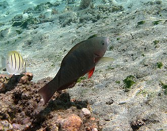 Parrotfish - Image: Scarus psittacus femelle