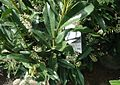 Schipka Cherry Laurel plants growing in NJ in April.jpg