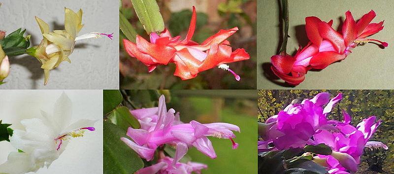 Fotografije kaktusa - Page 10 800px-Schlumbergera_cultivars_variation