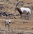 Scimitar-horned Oryx (2701755264).jpg