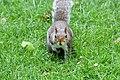 Sciurus carolinensis in St. James's Park, London (01).JPG