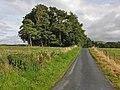 Scots pines near Gorn Newydd - geograph.org.uk - 986891.jpg