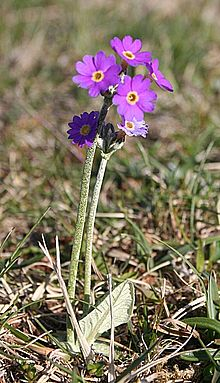 Scottish Primrose (Primula scotica) - geograph.org.uk - 822246.jpg