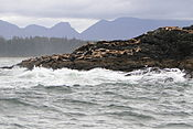 Sea Lion Colony - Off Long Beach - Pacific Rim National Park - Vancouver Island BC - Canada - 03.jpg