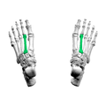 Second metatarsal bone03 superior view.png