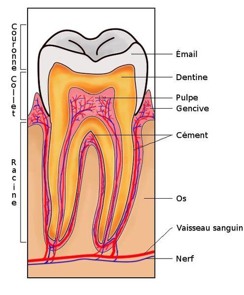 Image:Section de dent.jpg
