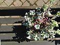 Sedum spathulifolium 'Purpureum'.jpeg