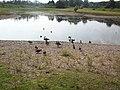 See in der Westhovener Aue mit Enten.jpg