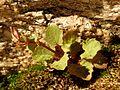 Seep Monkeyflower - Flickr - treegrow.jpg