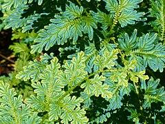 Selaginella willdenovii (scott.zona) 001